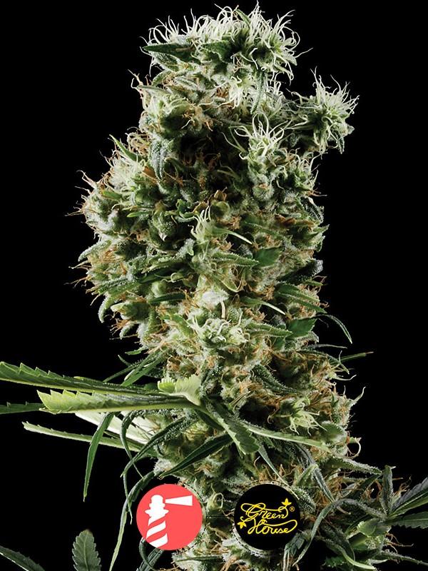 Arjan's Haze #2 (Greenhouse Seed Co.)
