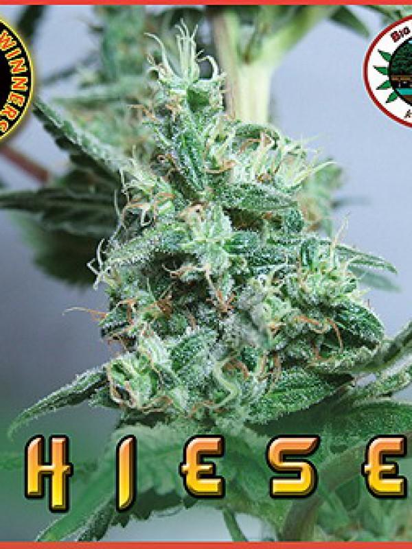 Chiesel Feminised Seeds