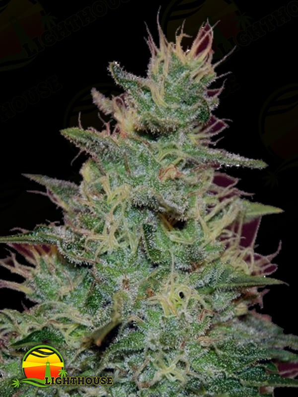 AK Automatic (BlimBurn Seeds)