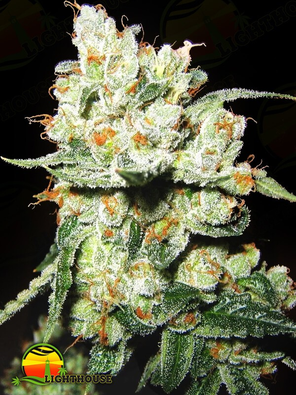 OG's Kush (BlimBurn Seeds)
