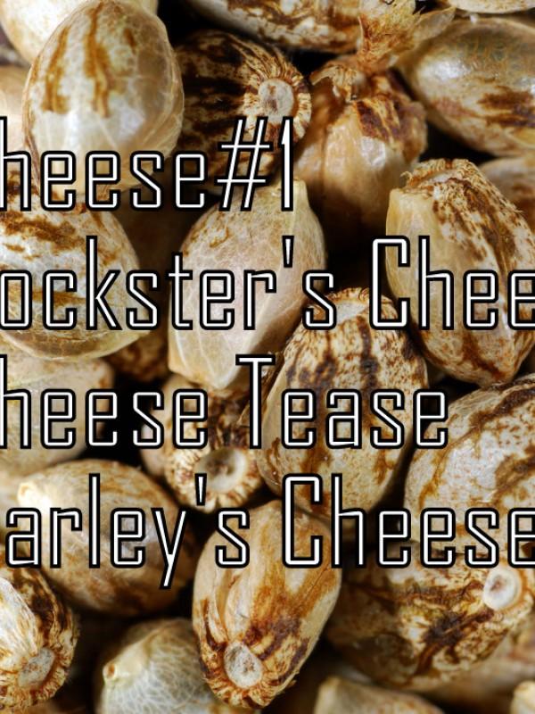 Cheese Quattro Regular Seeds