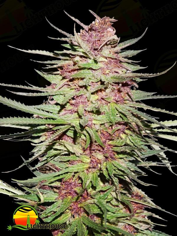 Purple #1 (Dutch Passion)