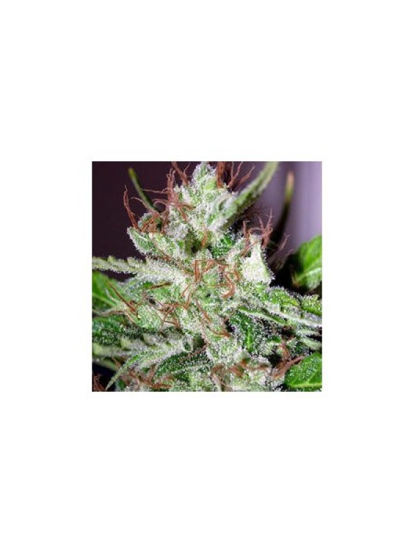 Eldorado Feminised Seeds - 5