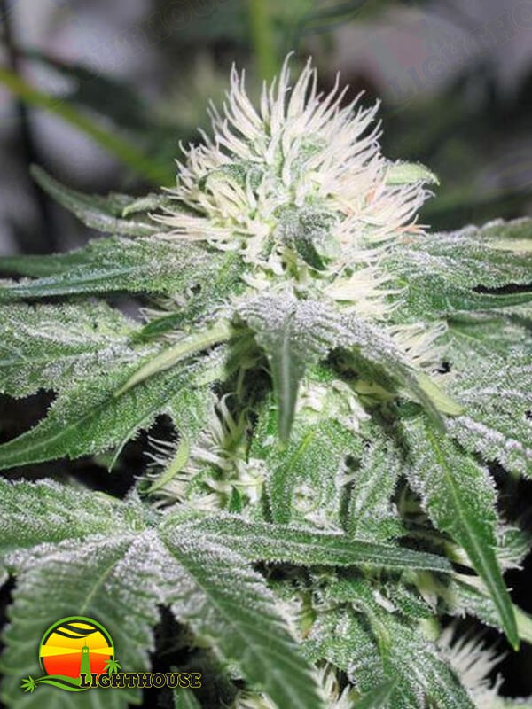 Ice (Female Seeds)