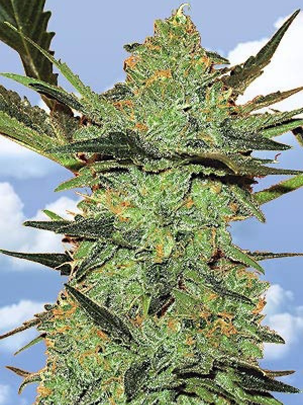 G-Force Feminised Seeds