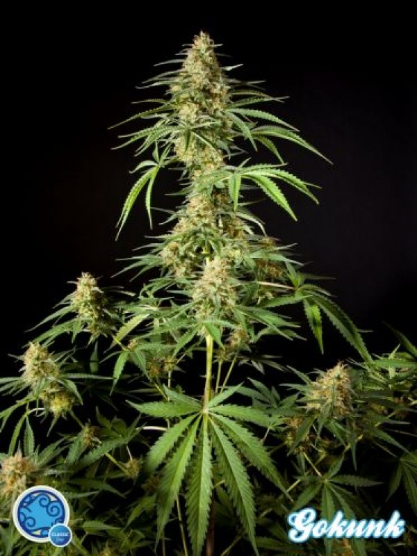 Gokunk Feminised Seeds
