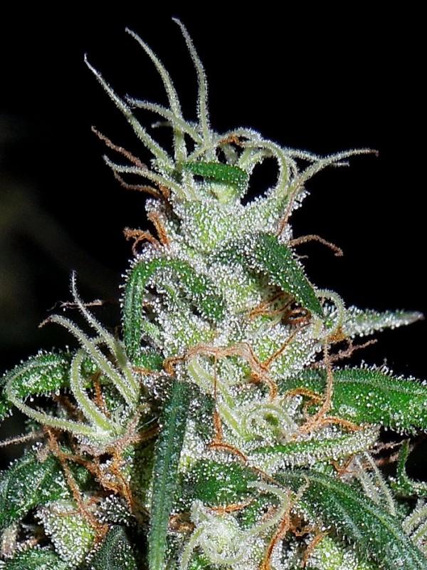Green Haze x Thai Regular Seeds