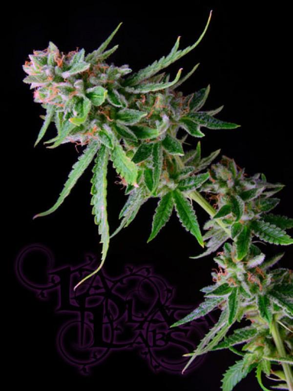 Green Alien Regular Seeds