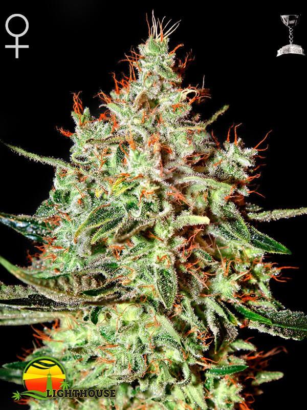 K-Train (Greenhouse Seed Co.)