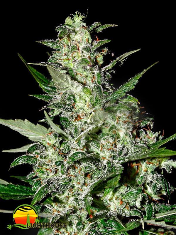Super Critical AUTO (Greenhouse Seed Co.)