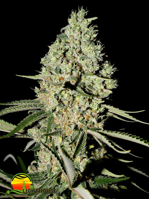 Super Critical (Greenhouse Seed Co.)