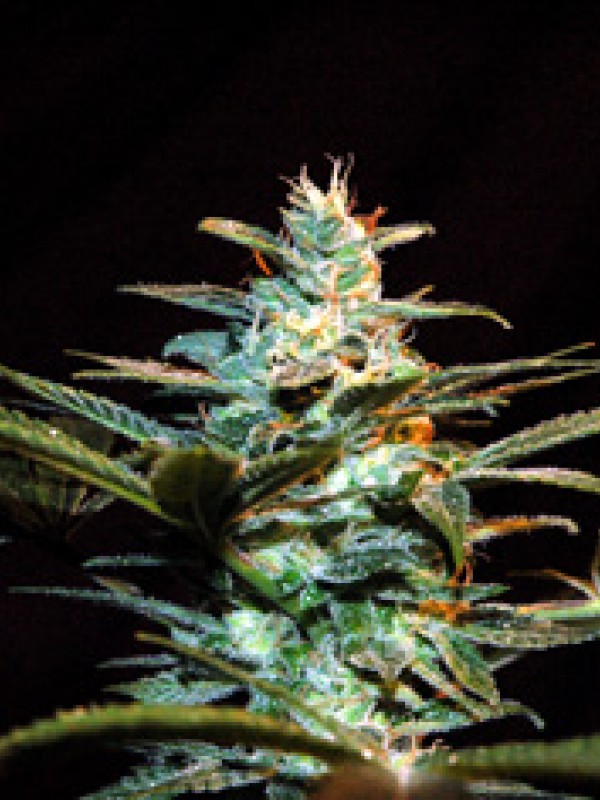 Ice Cool Feminised Seeds