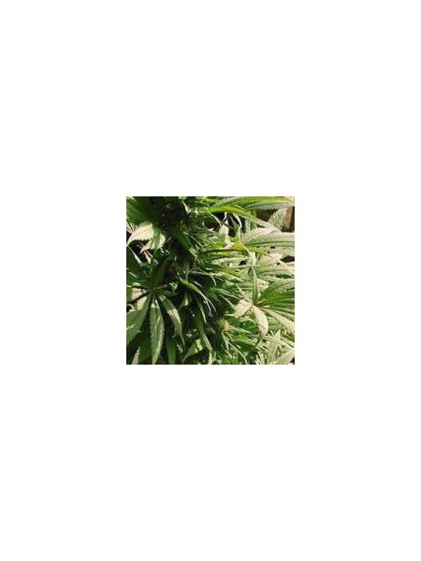 Indoor Mix Feminised Seeds - 5