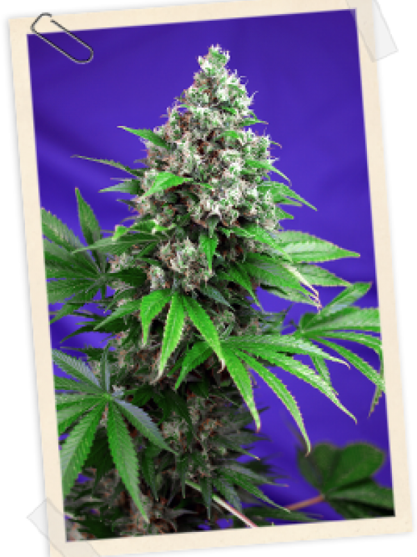 Killer Kush FAST Version Feminised Seeds