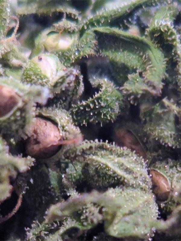 Mighty Mite Regular Seeds