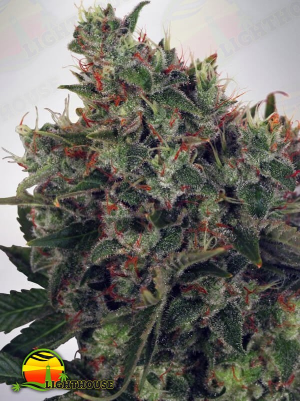 Ultra White Amnesia (Ministry of Cannabis)