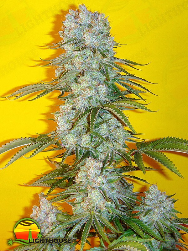 Blue Fin Regular (Mosca Seeds)