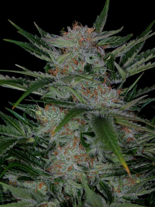 Plushberry (TGA Subcool Seeds)