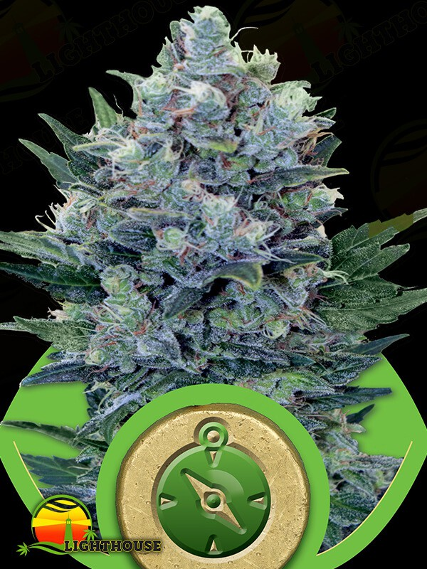 Northern Light Auto (Royal Queen Seeds)