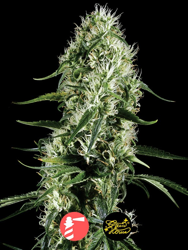 Super Silver Haze (Greenhouse Seed Co.)