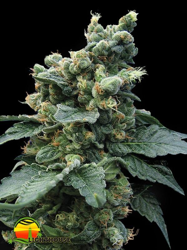 Sage 'n Sour (T.H.Seeds)