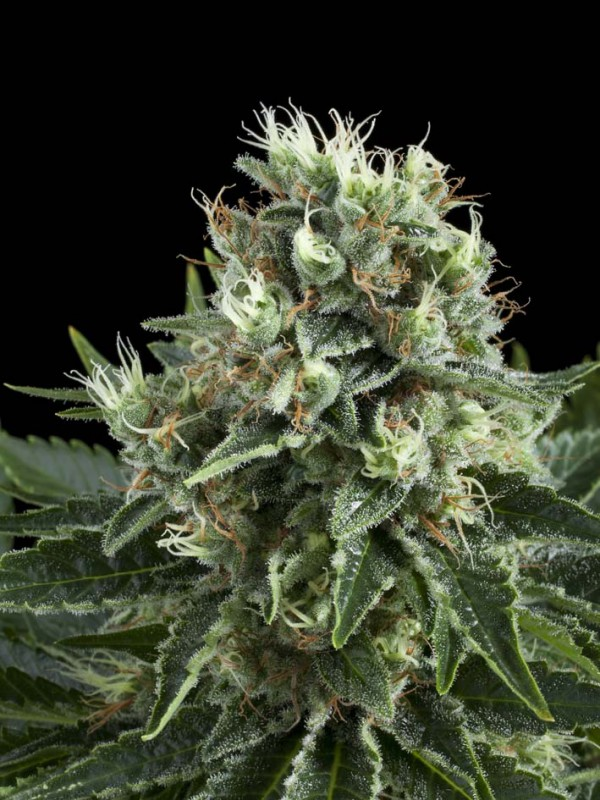 Indoor Mix Feminised Seeds