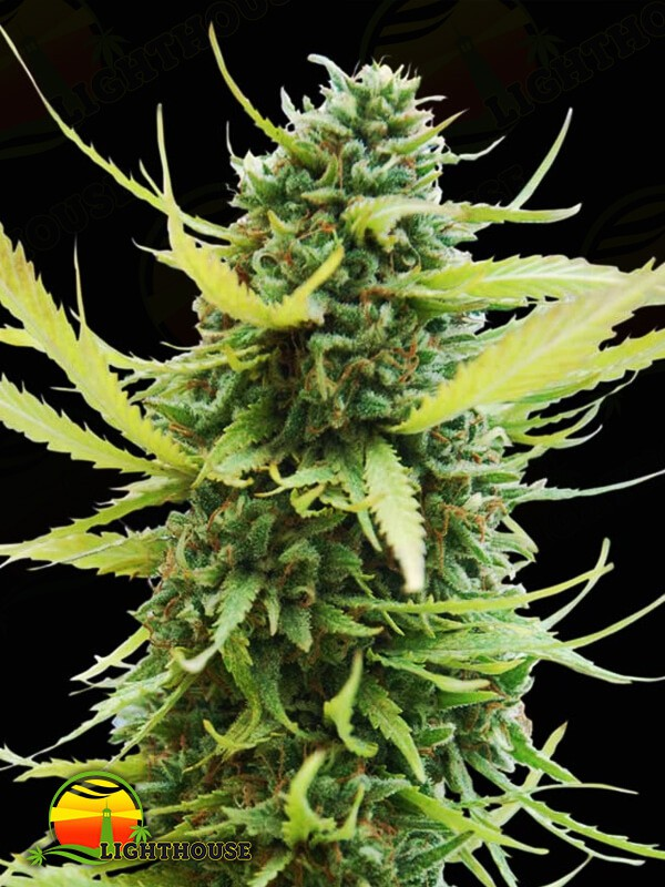 Colombian Gold (World of Seeds)