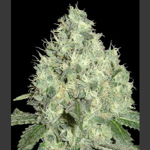 91 Krypt Regular Seeds - Limited Collection