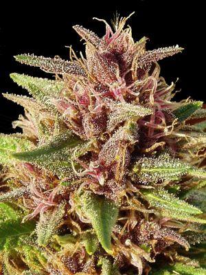 Erdpurt (Ace Seeds)