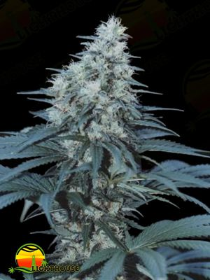Caribe Regular (Cannabiogen Seeds)