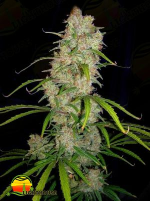 Destroyer (Cannabiogen Seeds)