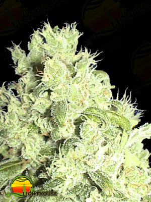 White Indica (Ceres Seeds)