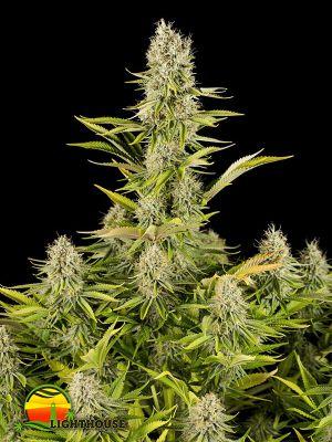 Amnesia Kush (Dinafem Seeds)