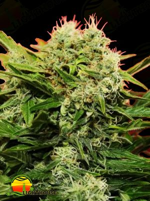 Chronic Ryder Auto (Doctor's Choice)