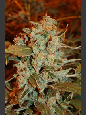 Dready Skunk Feminised Seeds