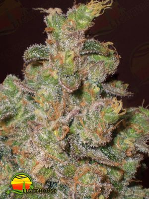 Cheese Auto (Expert Seeds)