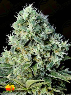 Santa Bilbo (Genehtik Seeds)