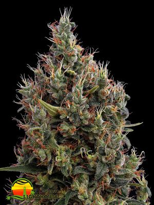 Big Bang AUTO (Greenhouse Seed Co.)