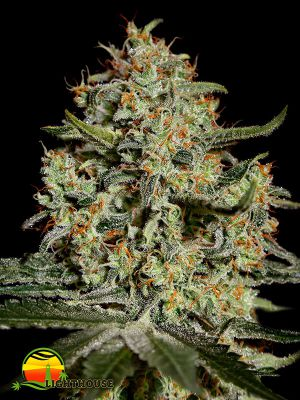 Big Bang (Greenhouse Seed Co.)