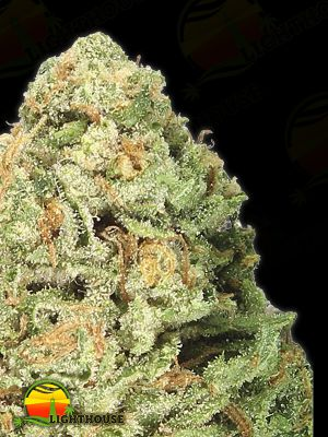 Fruit Punch (Heavyweight Seeds)