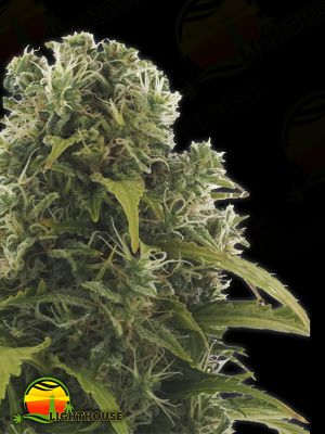 High Density Auto (Heavyweight Seeds)