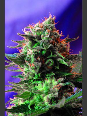 Jack 47 Feminised Seeds