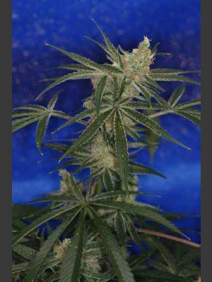 Jacks Cleaner 2 Regular Seeds