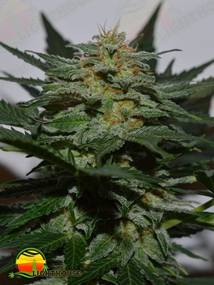 BlackBerry Auto (Lineage Genetics)