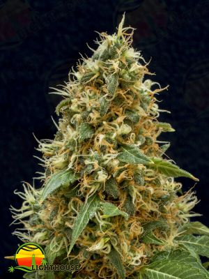 Dreamy Widow (Lineage Genetics)