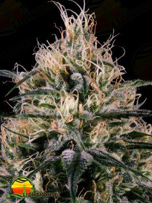 Green Doctor (GD-1) (Medical Marijuana Genetics)