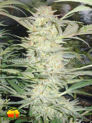 White Widow (Medical Seeds)