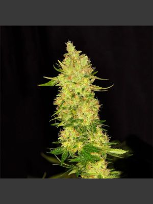 White Jack (Dready Seeds)