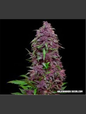 Purple Mazar Auto Feminised Seeds