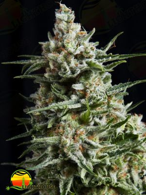 Anesthesia (Pyramid Seeds)